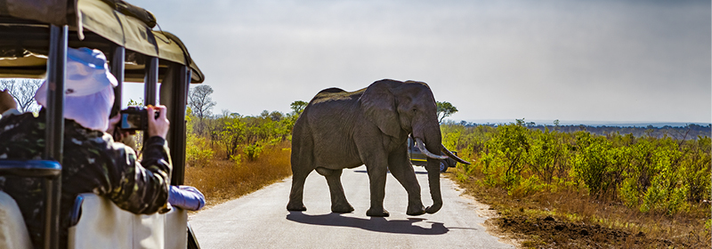 Safari participants taking photos from their jeep of an elephant crossing the road in South Africa